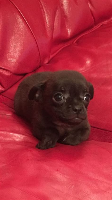 pug cross chihuahua for sale pug cross chihuahua wolverhton west midlands pets4homes