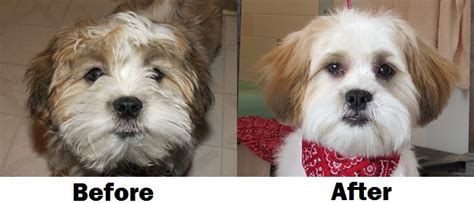 puppy cuts for shichon dogs a teddy bear haircut
