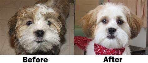 how to cut a shichon hair a teddy bear haircut