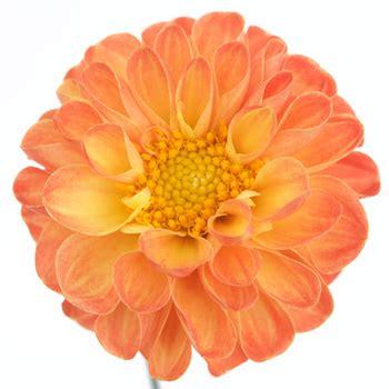colorful flowers picture orange flowers in bloom light tangerine yellow dahlia flower