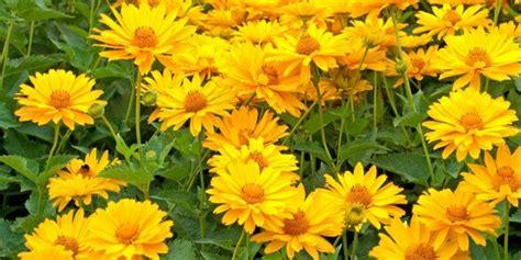 fiori da bordura pieno sole fiori gialli da piantare adesso per riscaldare l autunno