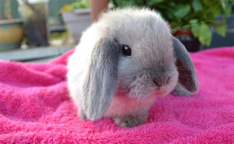 rabbit dogs for sale stunning seal point mini lop baby rabbits for sale bristol bristol pets4homes