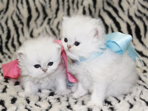 teacup persian kittens cats creation