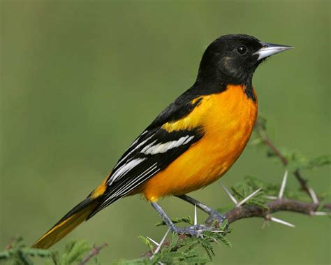 climate change could push oriole from baltimore
