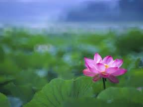 Free Lotus Flower Images Lotus Flowers Wallpapers Hd Pictures One Hd Wallpaper
