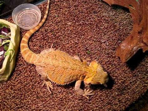 bearded dragon excited for superworms youtube
