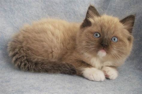 ragdoll kitten price ragdoll cat all about breed photos care health price