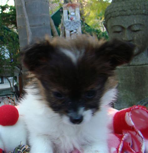 pomeranian puppies for sale in perth teacup pomeranian puppies for sale perth breeds picture