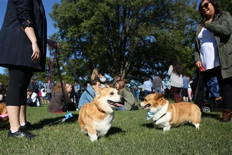 henry the s corgi a feel festive read to curl up with this books corgis feel the at derpin in d c dc refined
