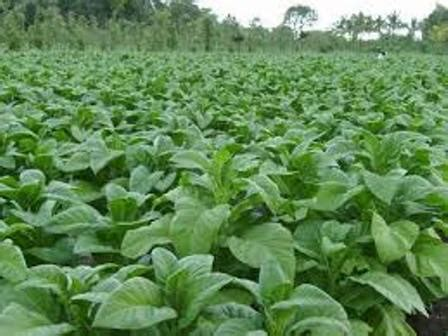 Minyak Atsiri Tembakau tahap dan pemakaian insektisida herbisida dan fungisida