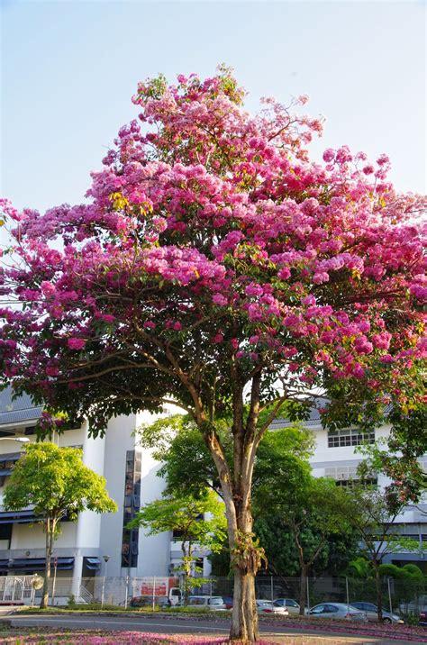 in tree trees and plants trumpet tree tabebuia rosea