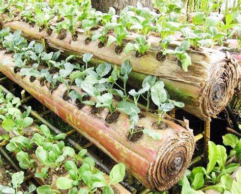 Bibit Sirsak Madu berkebun sayuran di atas batang pisang bebeja