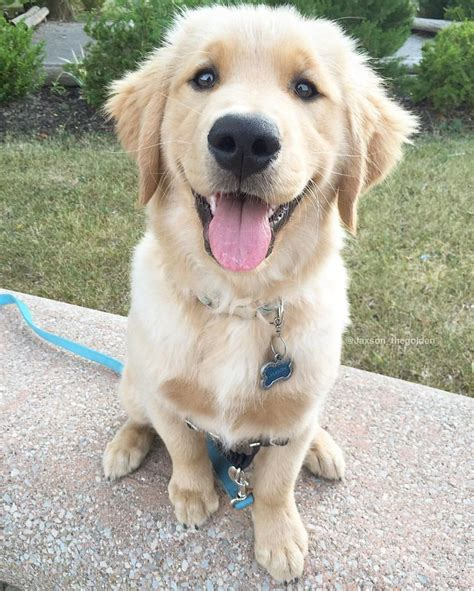 golden retriever eyebrows 475 best images about golden retrievers on pets puppys and labradors