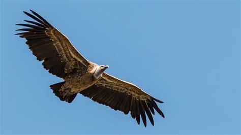 grifo de ruppel vautour de r 252 ppell ref pber174092