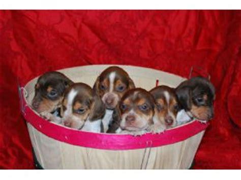 beagle puppies for sale in arkansas beagle puppies in arkansas