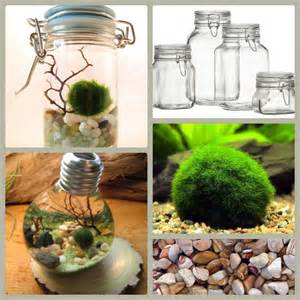 25 best ideas about marimo on pinterest marimo moss ball marimo moss ball terrarium and