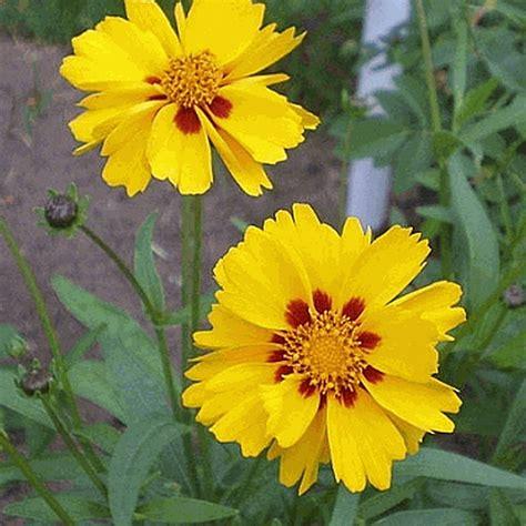 coreopsis grandiflora largeflower tickseed wildflower seed