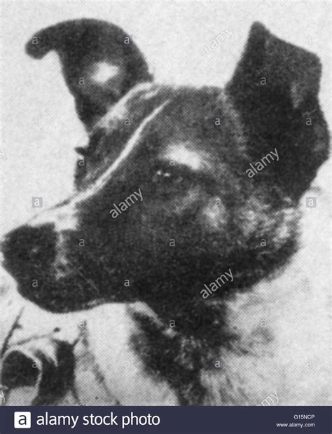 laika the laika the soviet space who became one of the animals in stock photo