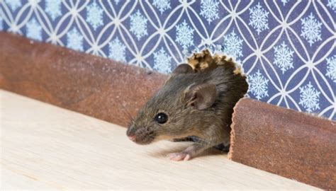mice in the house how to get rid of mice in your house hirerush blog