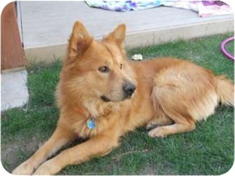 chow chow golden retriever mix buster adopted az golden retriever chow chow mix