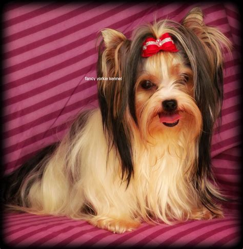 muzzle for yorkie terrier with muzzle breeds picture