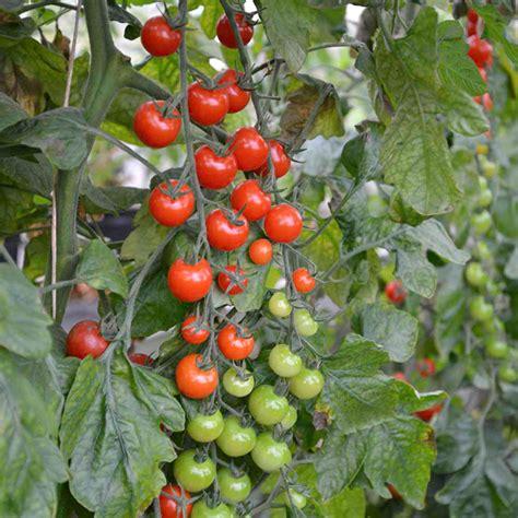 Click And Grow Amazon Tomato Grafted Sweet Petit 1 P10 Tomato Plants