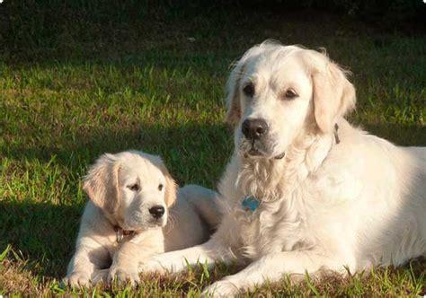 oklahoma golden retriever cria i selecci 243 de cadells de golden retriever a barcelona el gos blanc