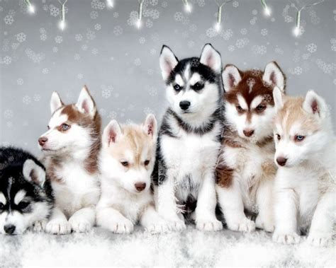 where to buy pomsky puppies pomsky puppies by hales10 04 12 on deviantart