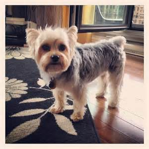 morkie haircuts pictures morkie haircuts hairstyle gallery