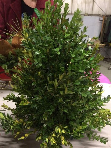 boxwood  ultimate green  christmas  garden diaries
