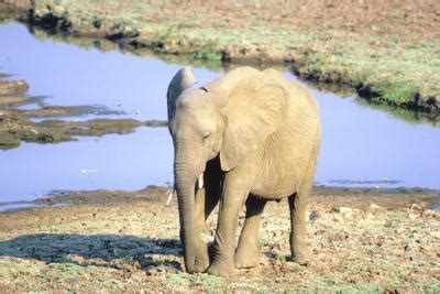 at what age is a grown at what age is an elephant grown animals me