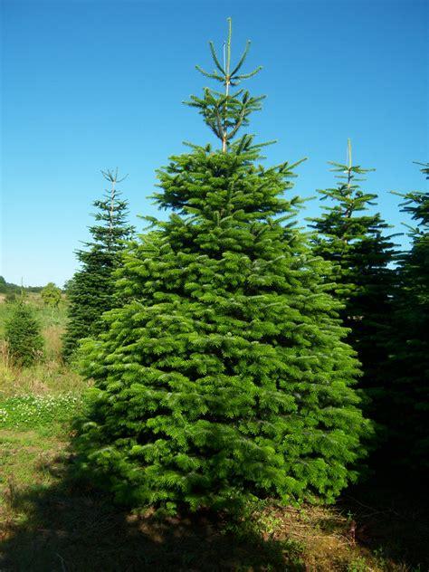 nordman fir christmas trees home depot abies nordmanniana tree lights decoration