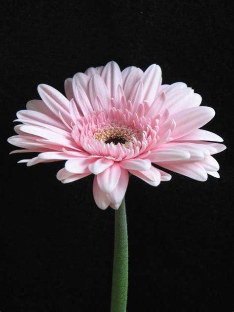 flower picture daisy flower 3 light pink daisy flower image jpg hi res 720p hd