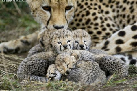 cheetah cub unique animals blogs cheetahs cubs tigers cubbs pics