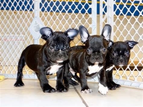 bulldog puppies for sale in ct bulldog puppies for sale in hartford connecticut county ct fairfield