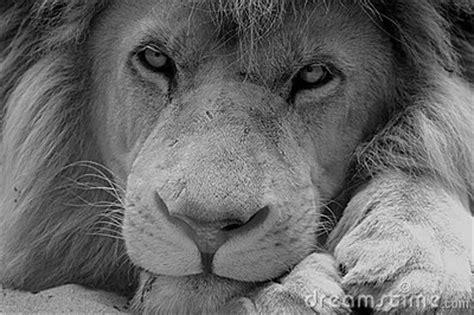 imagenes de leones blanco y negro le 243 n blanco y negro fotos de archivo libres de regal 237 as