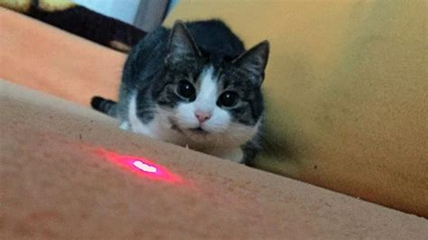laser light for cats the cat laser pointer the science the fascination