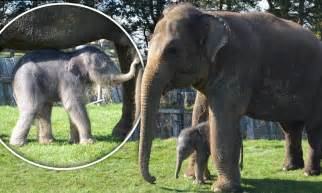 Recorded Birth Elephant Gives Birth After A Two Year Pregnancy The