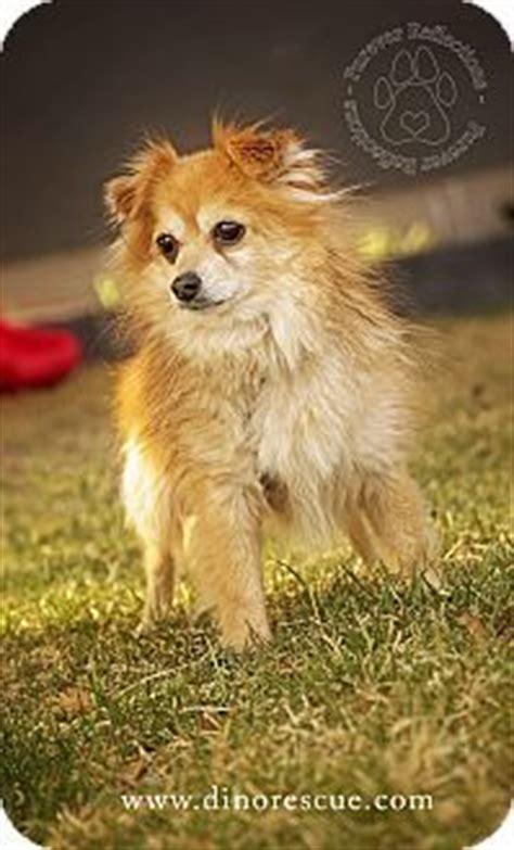 pomeranian calgary trenton nj pomeranian chihuahua mix meet whiskey a puppy for adoption http www