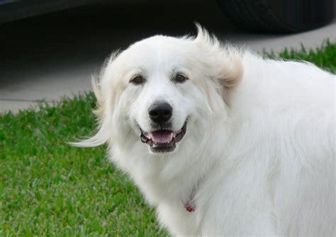 haircuts for great pryneese dogs keeping a great pyrenees dog cool petcha