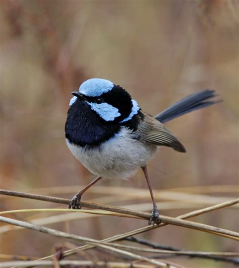 pitch perfect how fairy wrens identify other species