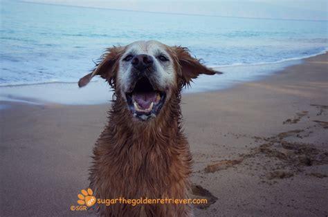 do golden retrievers bark much bark rage golden woofs