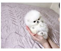 teacup pomeranian breeders ny teacup pomeranian puppies ready animals new york city new york announcement 24554