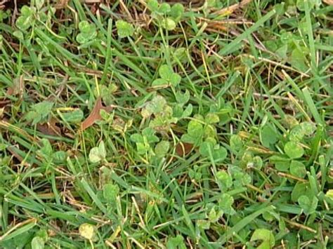common backyard weeds 25 best ideas about common lawn weeds on pinterest