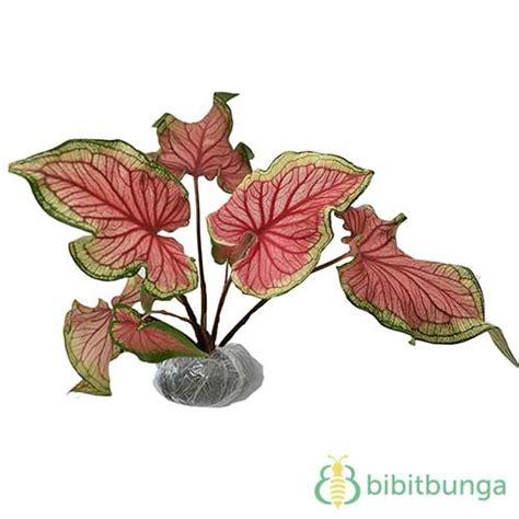 tanaman caladium bicolor florida sweetheart bibitbungacom