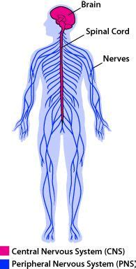 diagram of central and peripheral nervous system the world s catalog of ideas