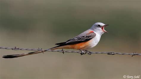 image gallery scissor tailed flycatcher