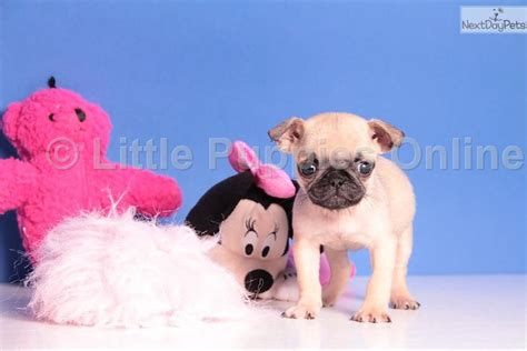 how much are pugs in canada fancy pug puppy for sale near columbus ohio 80dc1c13 6341