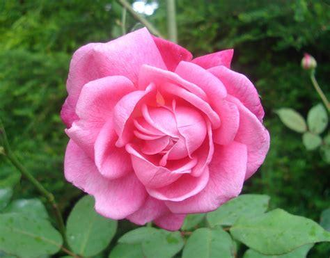 Biji Benih Bibit Bunga Pink Dreamland Import jual benih bibit bunga mawar pink pink import