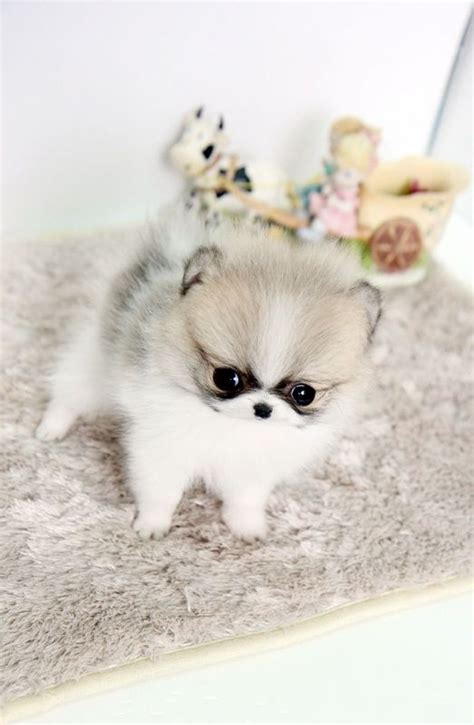 tiny teacup pomeranian tiny teacup pomeranian puppies text me 313 908 5587 these extremely tiny